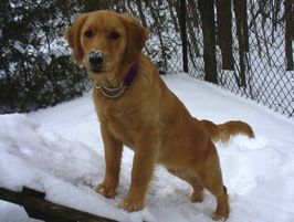 Ottawa Valley Golden Retriever Club - Owners, Breeders, and